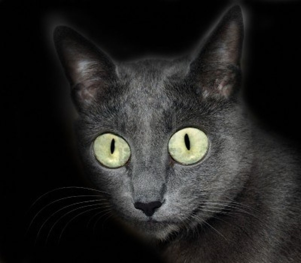 Soft Cat Food >> Russian Blue - Information, Health, Pictures & Training Pet Paw
