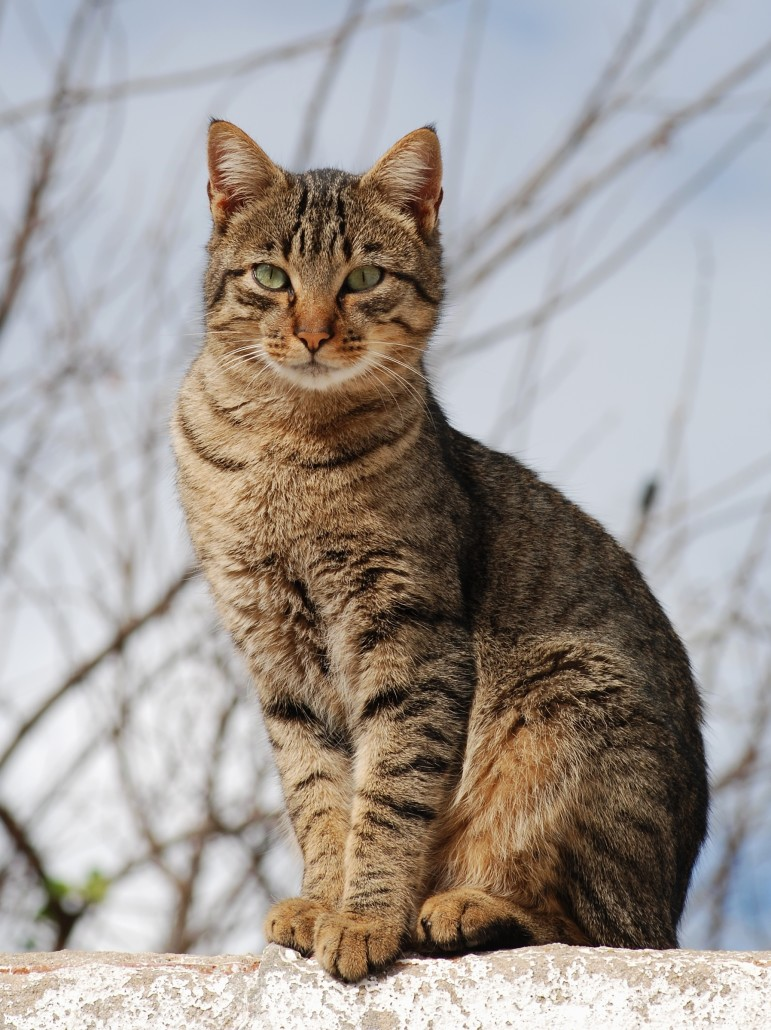 Russian Black White Or Tabby Information Health