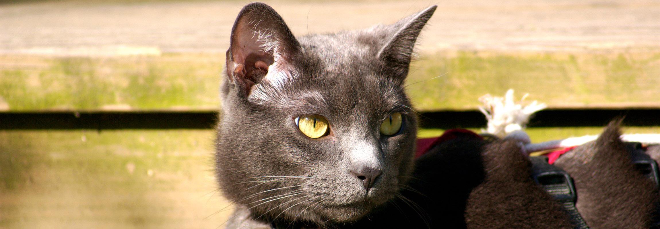Russian Blue Cat Intelligence