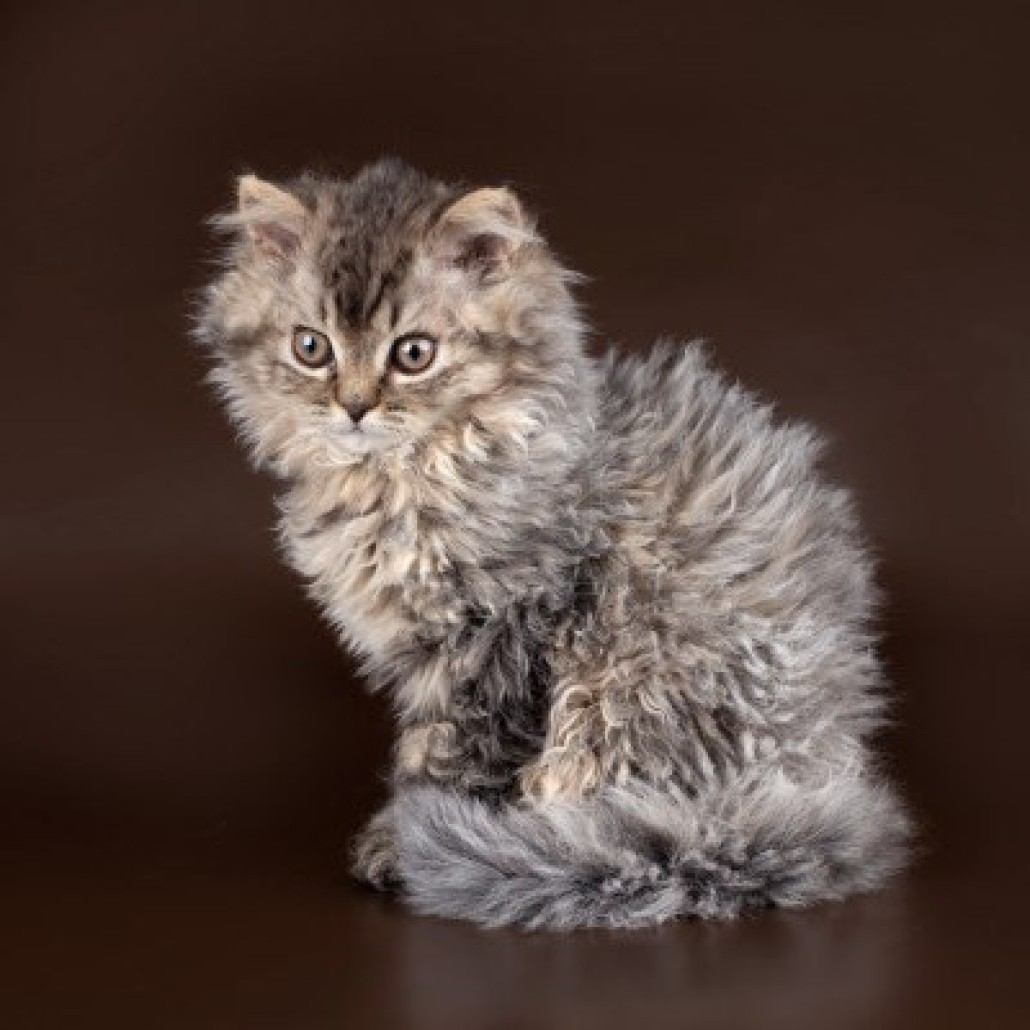 Selkirk Rex - Information, Health, Pictures & Training Pet Paw