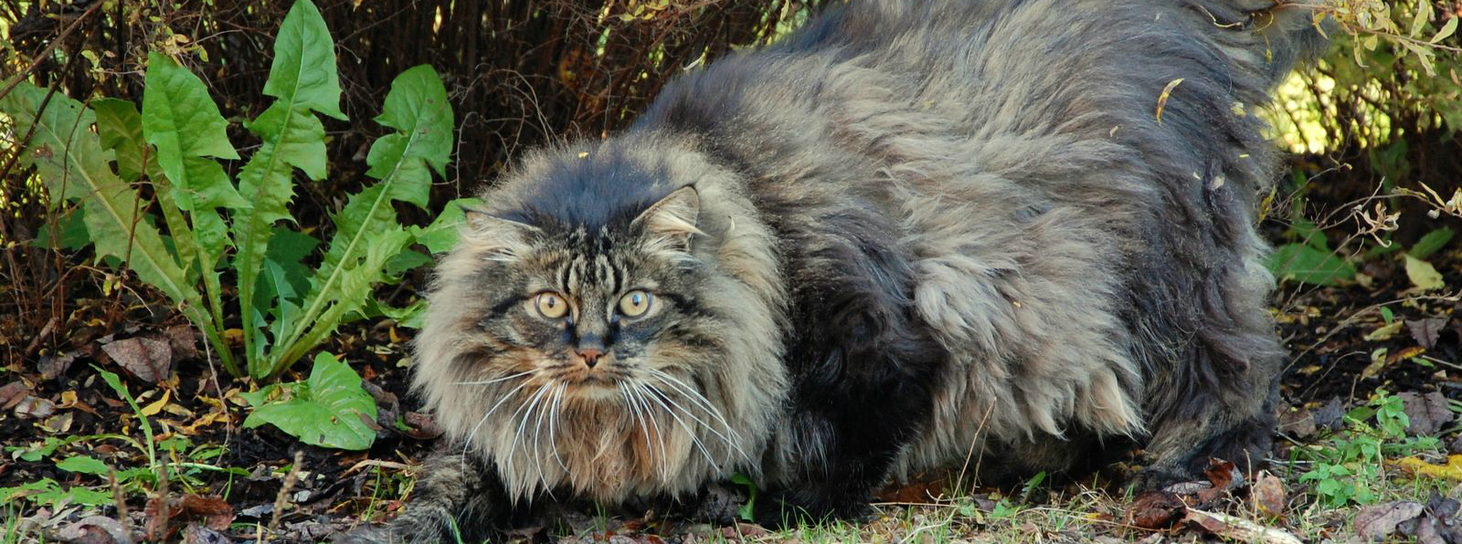 norwegian forest cat information health pictures training pet paw