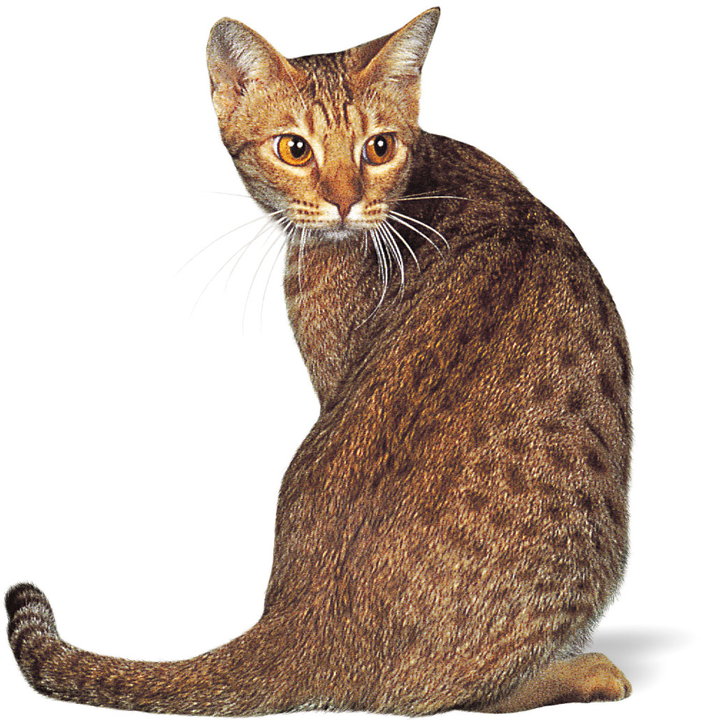Ocicat Information Health Pictures Amp Training Pet Paw
