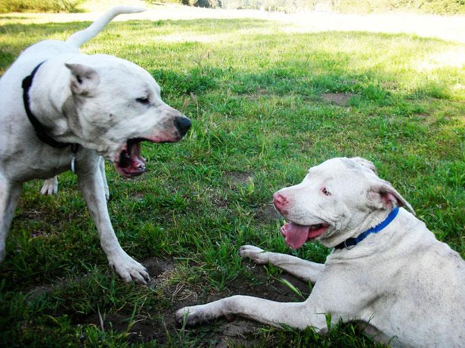 Cordoba Fighting Dog on 02 Cavalier Problems