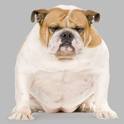 Overweight Dogs – How to Manage Dogs Health