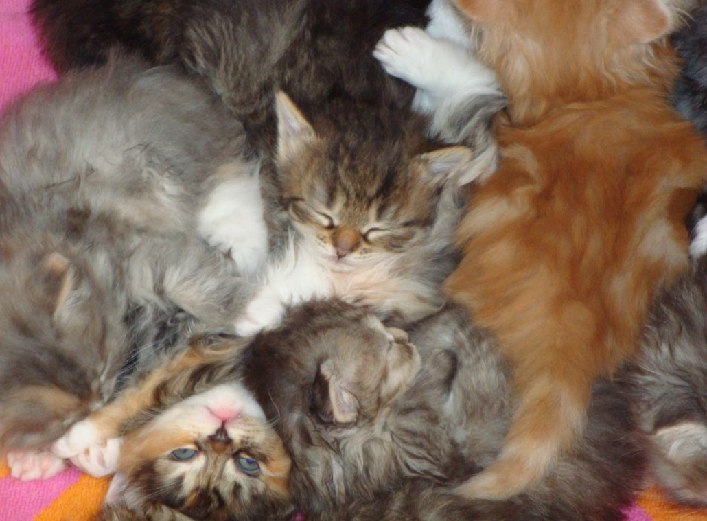 Siberian Information Health Pictures Amp Training Pet Paw