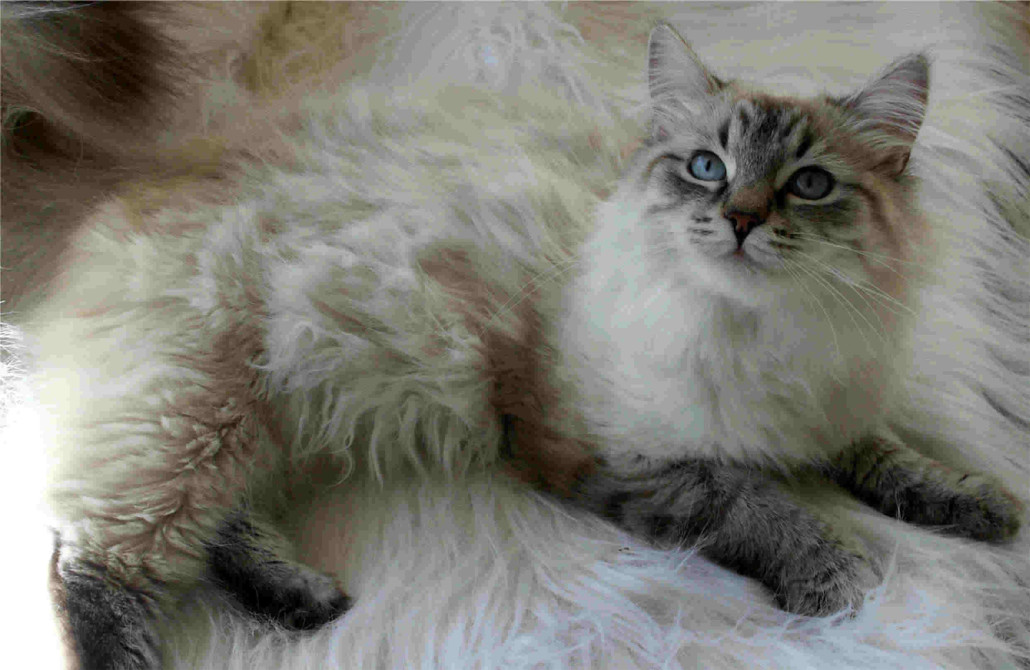 Do Ragdoll Cats Get A Winter Coat