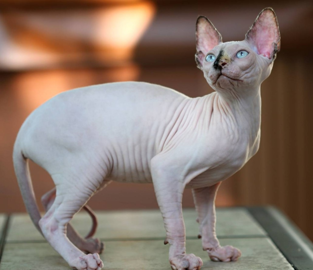 Sphynx Information Health Pictures Amp Training Pet Paw