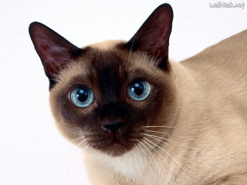 tonkinese   information health pictures amp training pet paw
