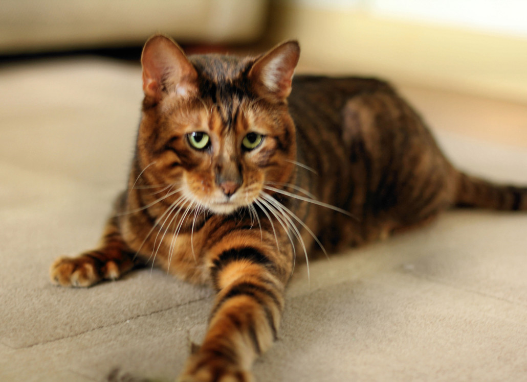 Toyger Information Health Pictures Amp Training Pet Paw