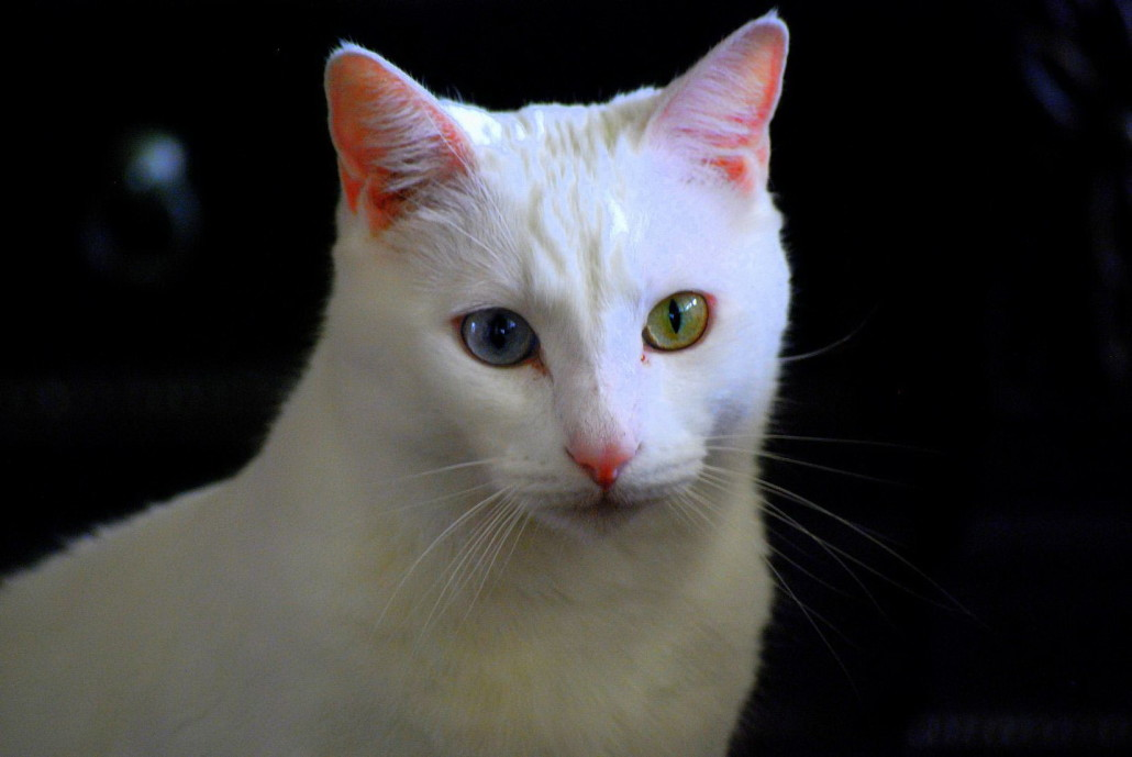 Turkish Angora Cat Breed Traits While pure white Turkish Angoras have been the norm for many years, Angoras in other colors are becoming increasingly popular. As is true of any breed, the pure white, blue-eyed Angora can be born partially or totally deaf.