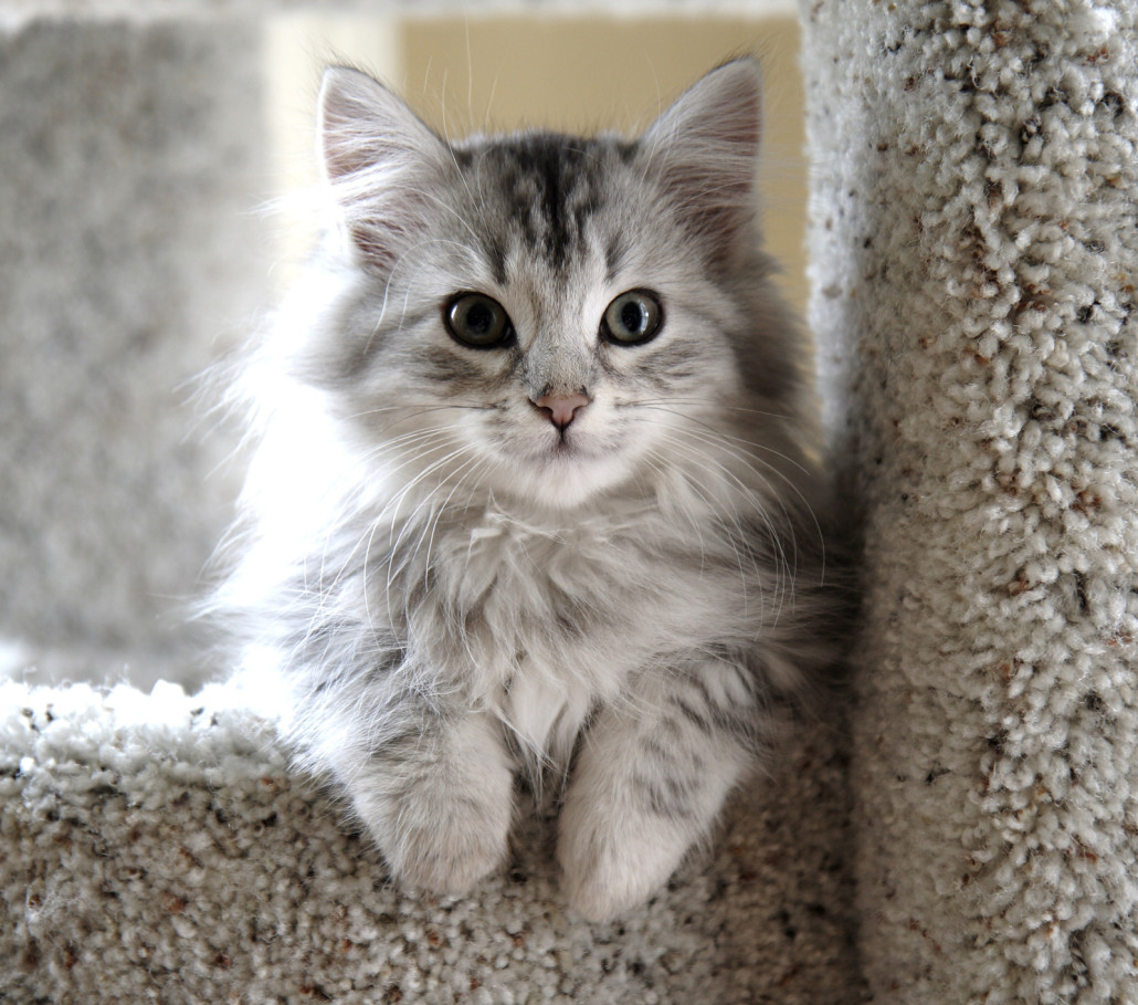 Siberian - Information, Health, Pictures & Training Pet Paw