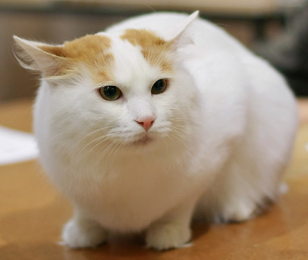 Turkish Van Information Health Pictures Amp Training Pet Paw