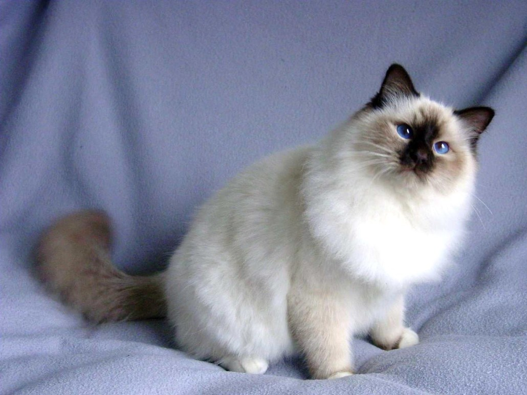 Pictures Of Snowshoe Cat Breed