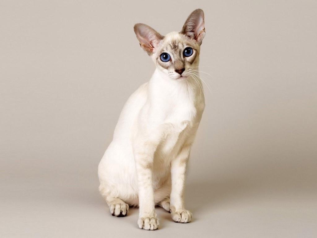 Singapura Information Health Pictures Amp Training Pet Paw
