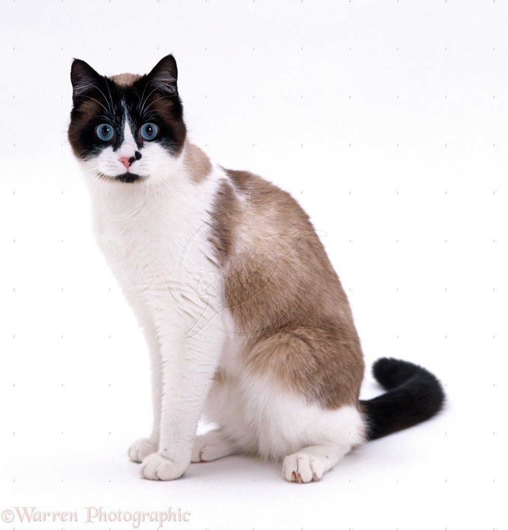 Snowshoe Information Health Pictures Amp Training Pet Paw