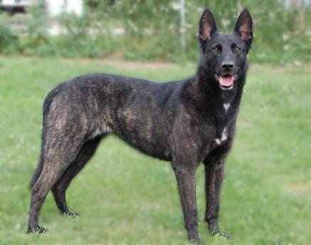 Dutch Shepherd Dog Breed Pet Paw