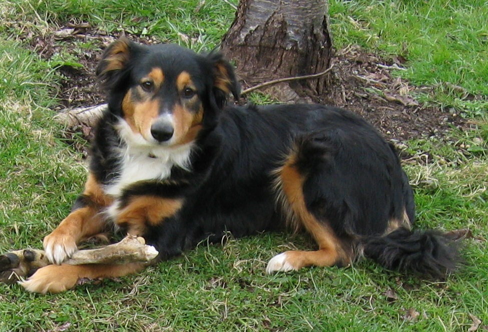 English Shepherd Breed Guide - Learn about the English ...