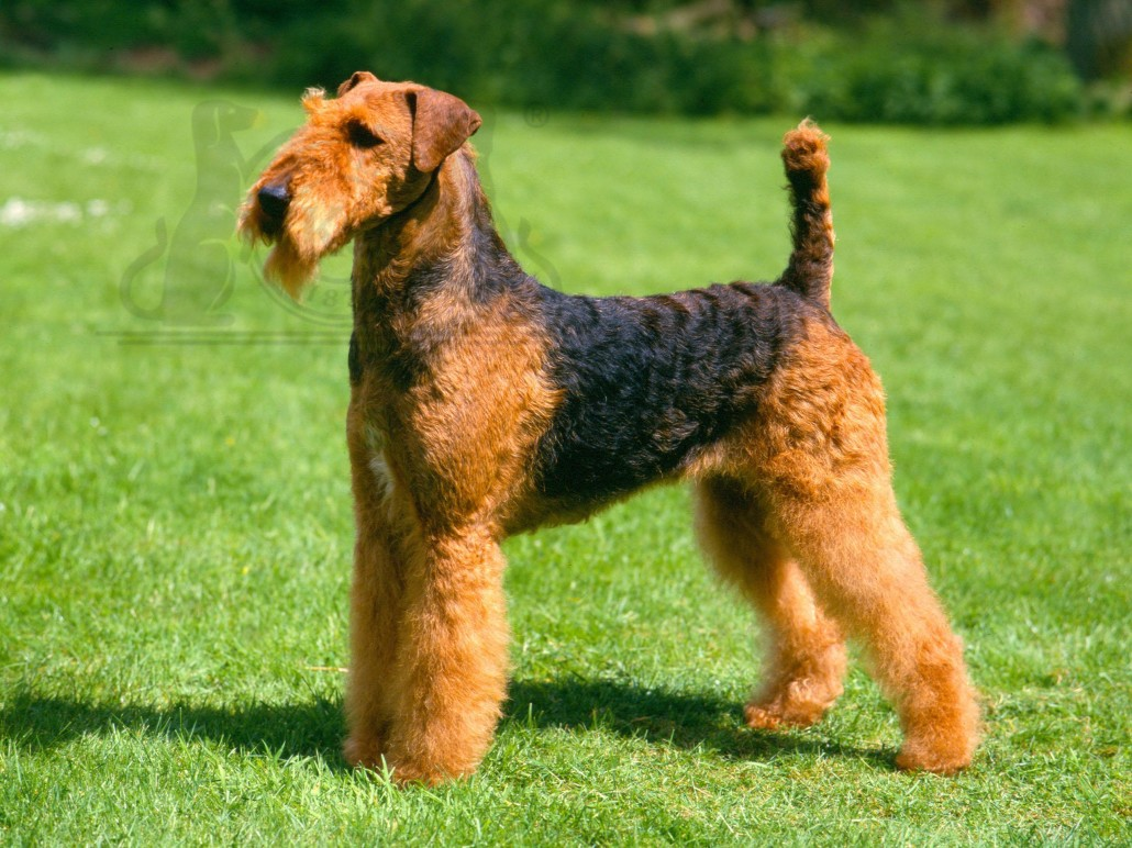 pin airedale terijer on pinterest