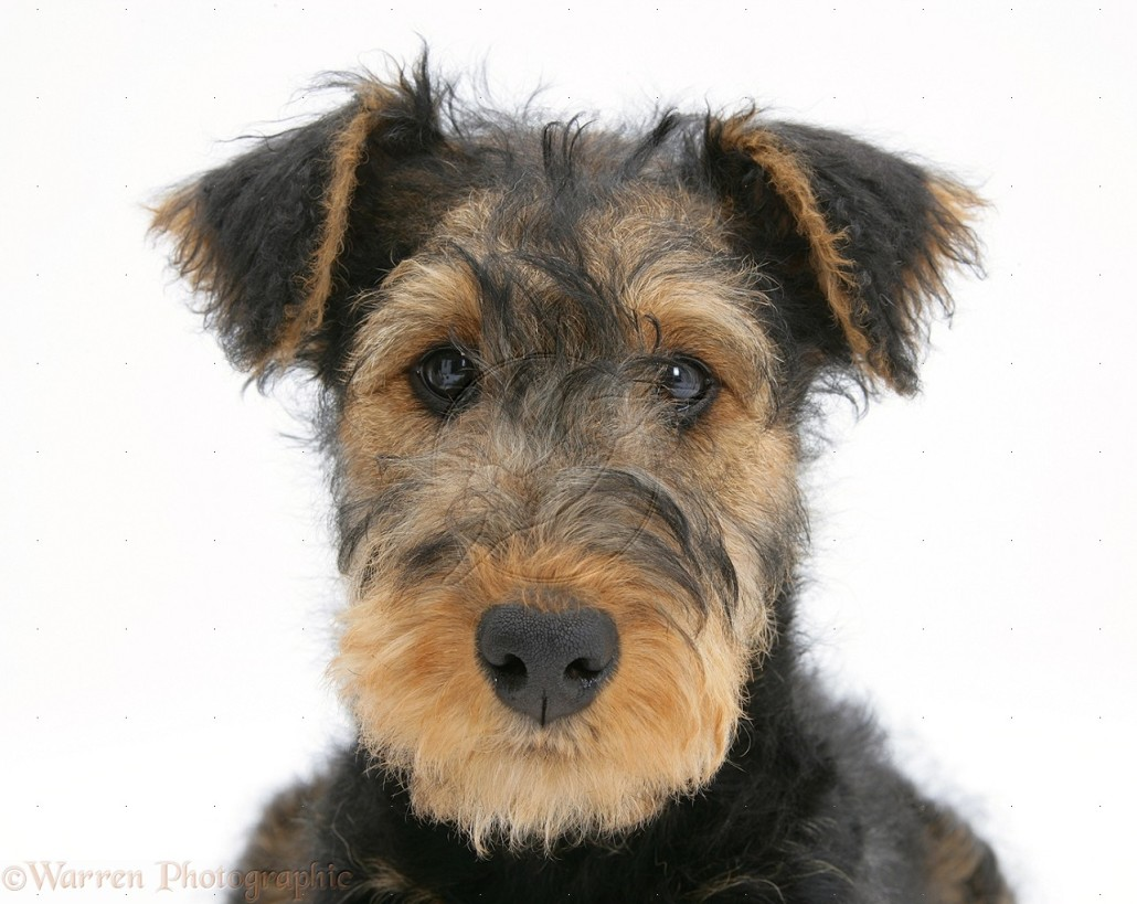Airedale Terrier Breed Guide Learn About The Airedale