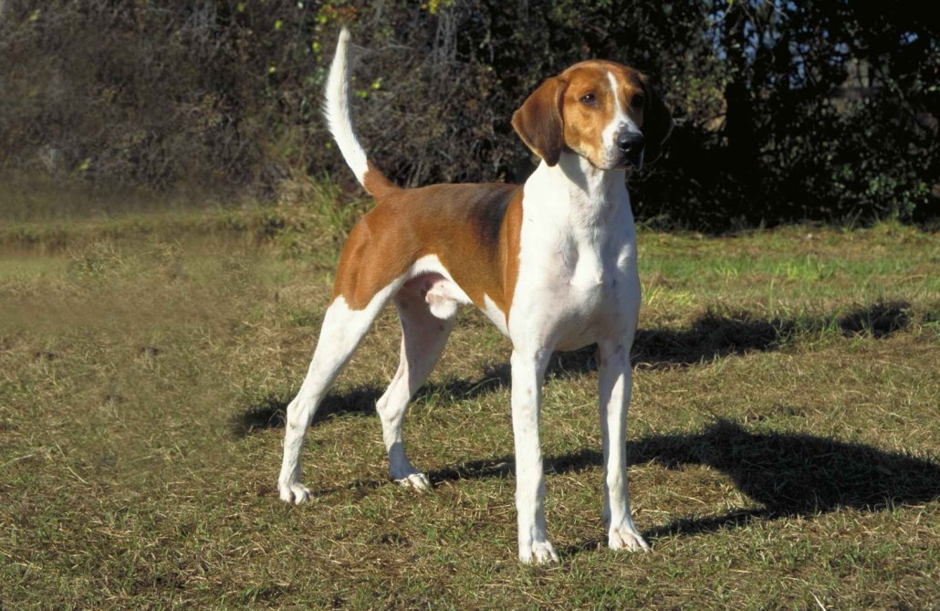 American Foxhound Breed Guide Learn About The American
