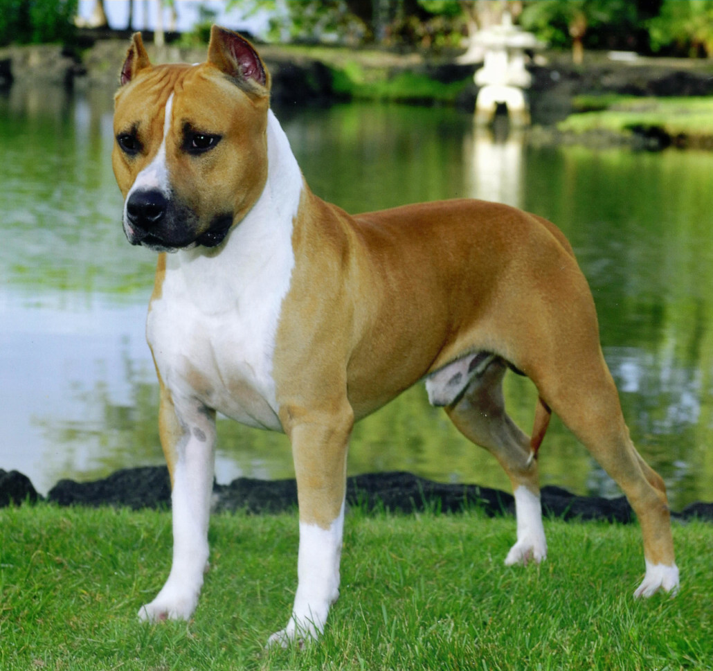 American staffordshire terrier breed guide learn about the american staffordshire terrier picture gallery geenschuldenfo Image collections