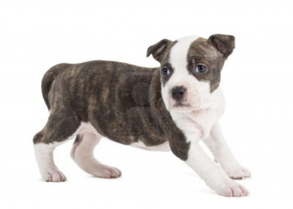 American Staffordshire Terrier Breed Guide Learn About The