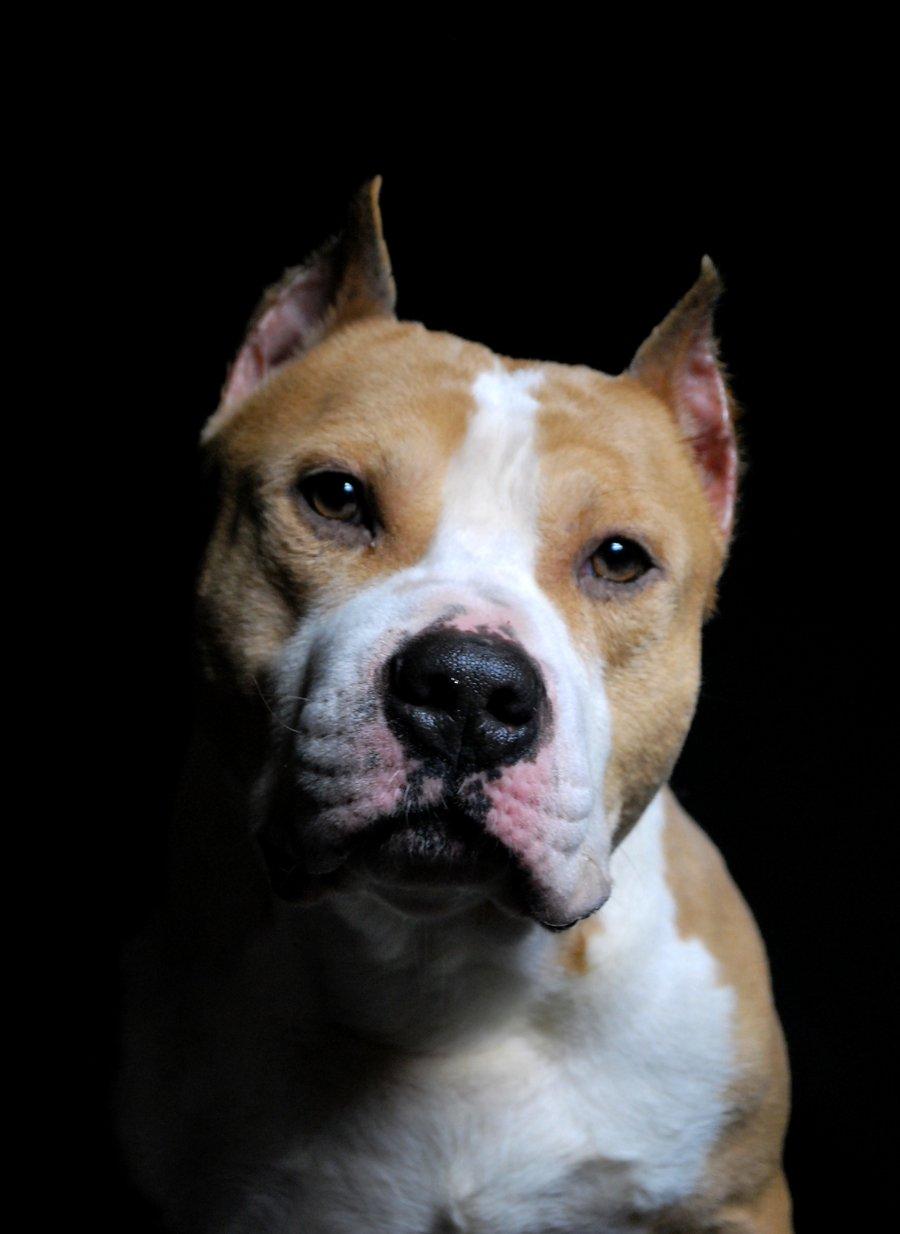 american staffordshire terrier vs - photo #44