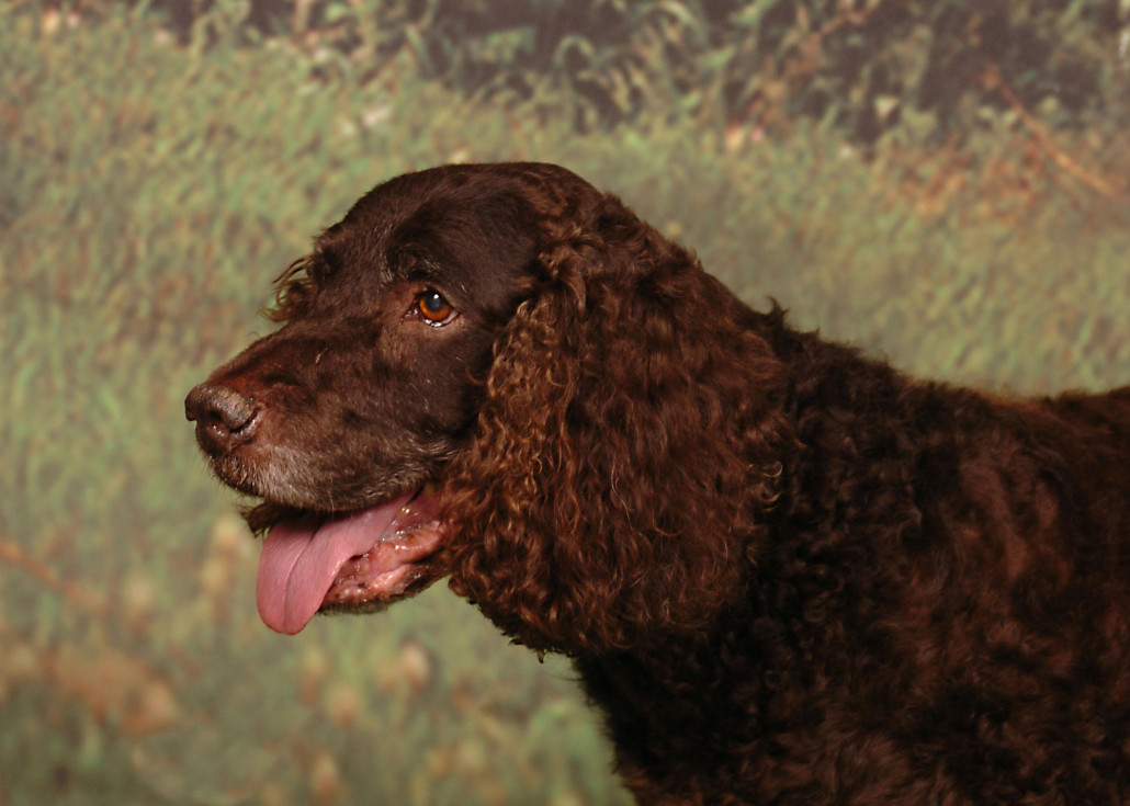 American Water Spaniel Breed Guide - Learn about the ...