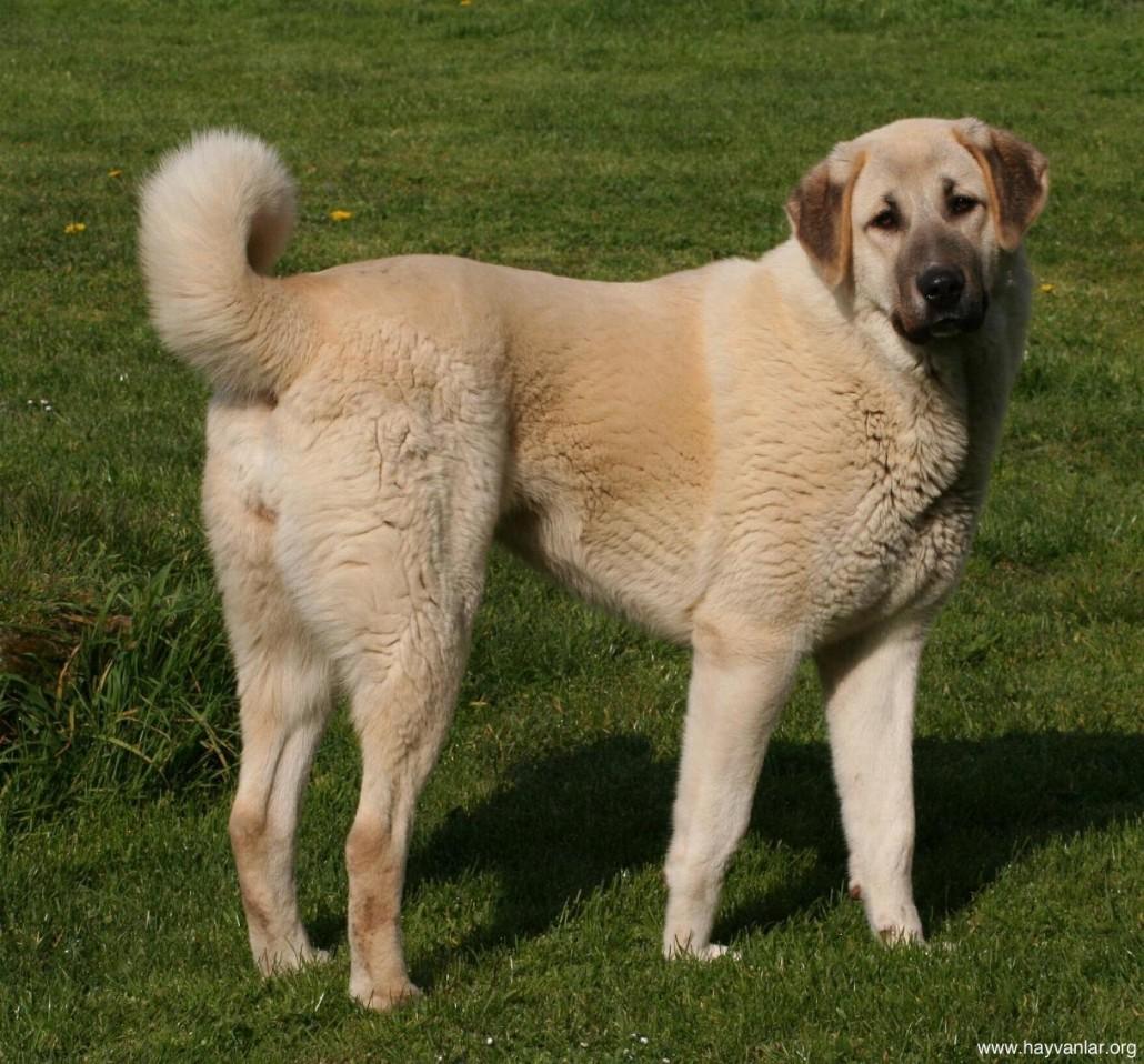 Anatolian Shepherd Breed Guide - Learn about the Anatolian ...