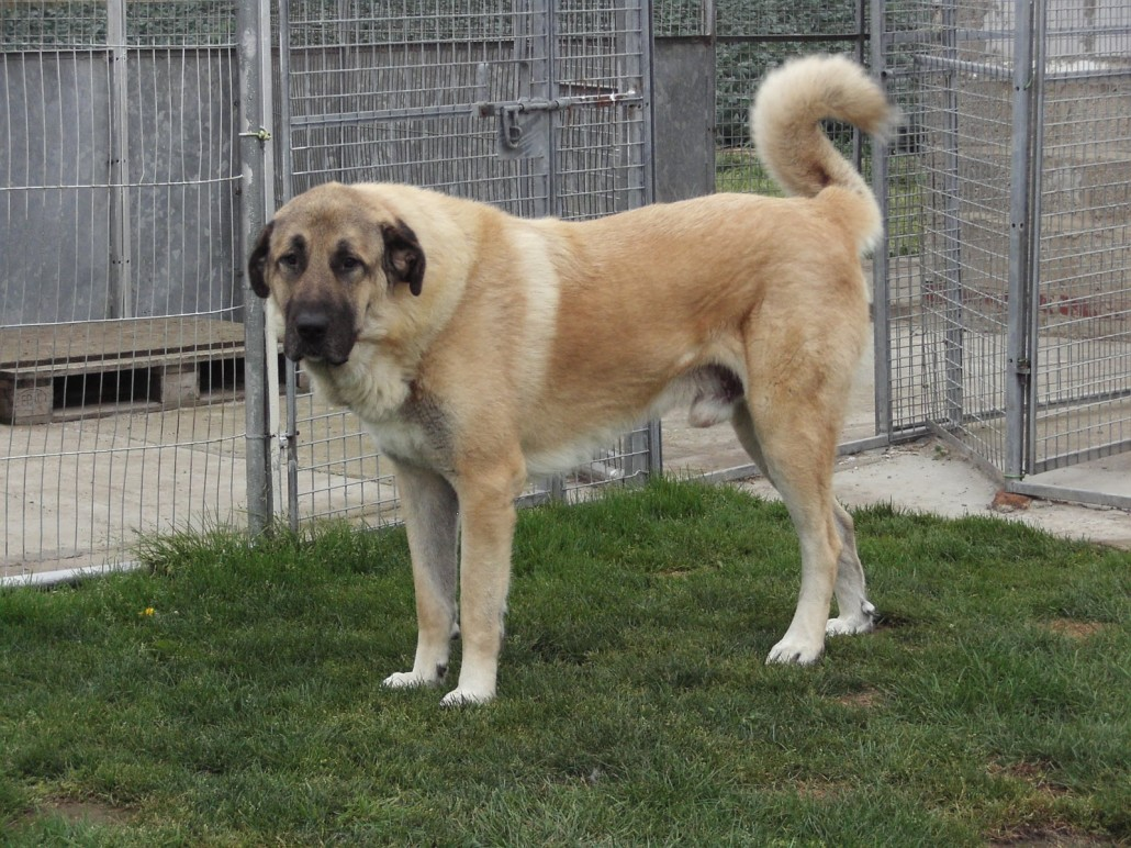 Anatolian Shepherd Breed Guide Learn About The Anatolian