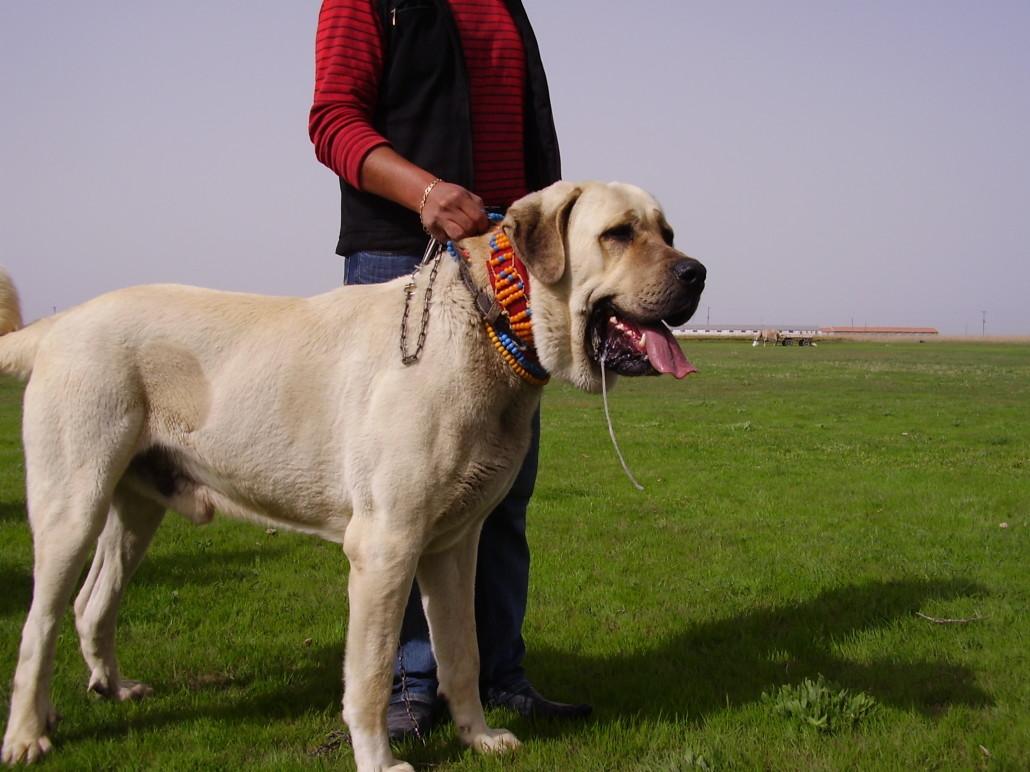 Anatolian Shepherd Breed Guide Learn About The Anatolian