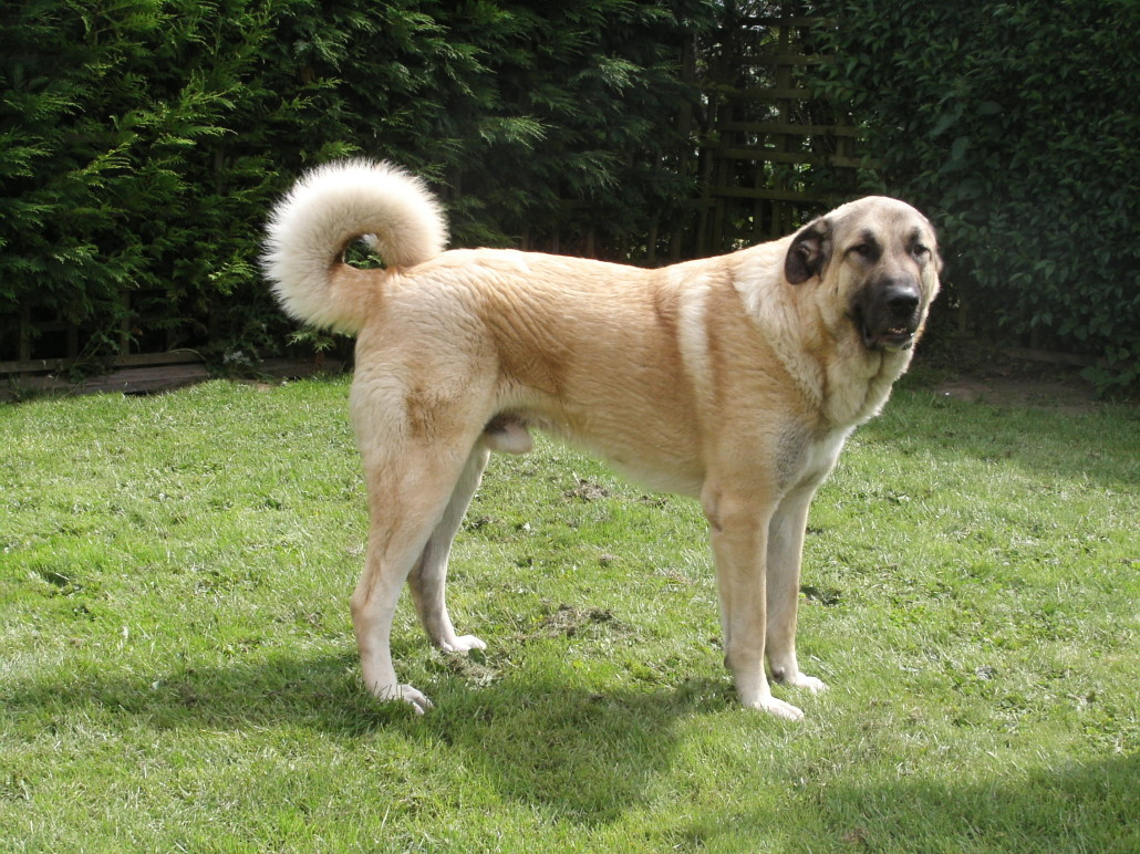 Anatolian Shepherd Breed Guide - Learn about the Anatolian ...