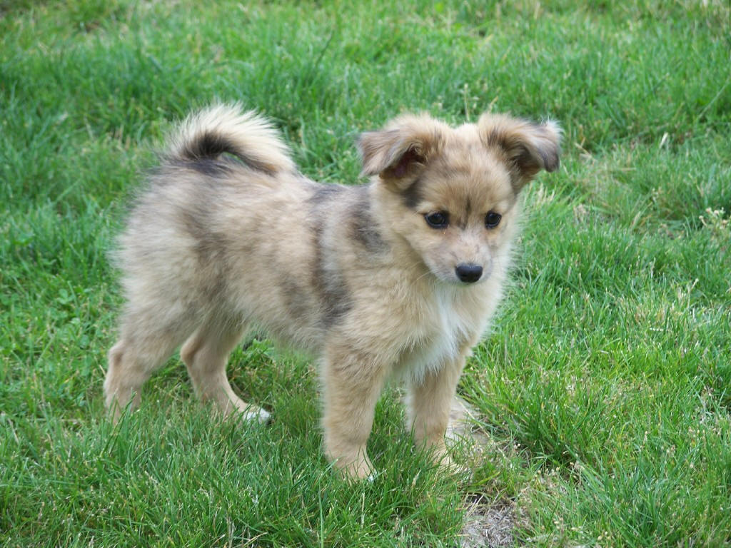 aussie mix puppies australian shepherd breed guide learn about the 2738
