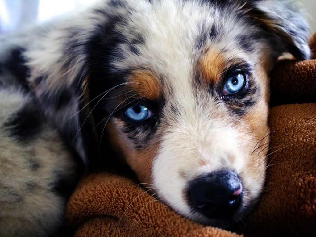 Australian Shepherd Guide – Learn About the Australian Shepherd