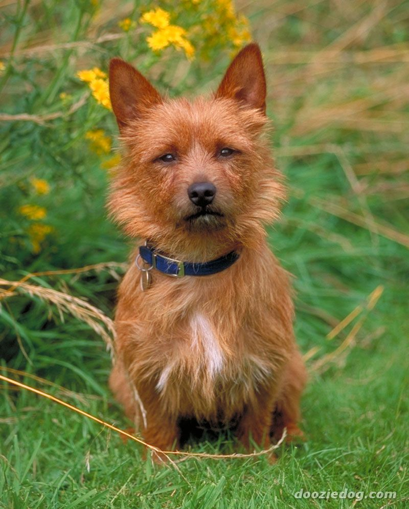 Australian Terrier: photos and description of the breed, nature, proper care and maintenance 26