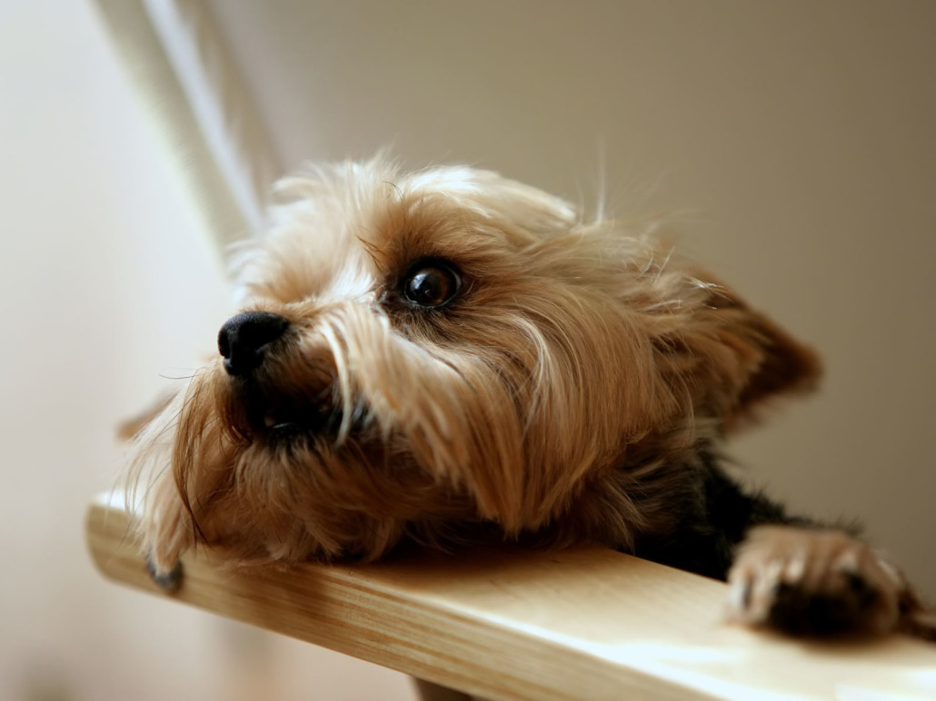 Australian Terrier Breed Guide - Learn about the