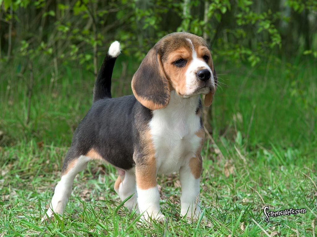Most Inspiring Snoopy Beagle Beagle Adorable Dog - Beagle-1  Best Photo Reference_969320  .jpg