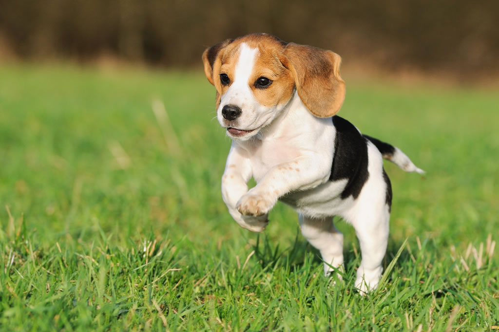 Cocker Spaniel Types Beagle Breed Guide - L...