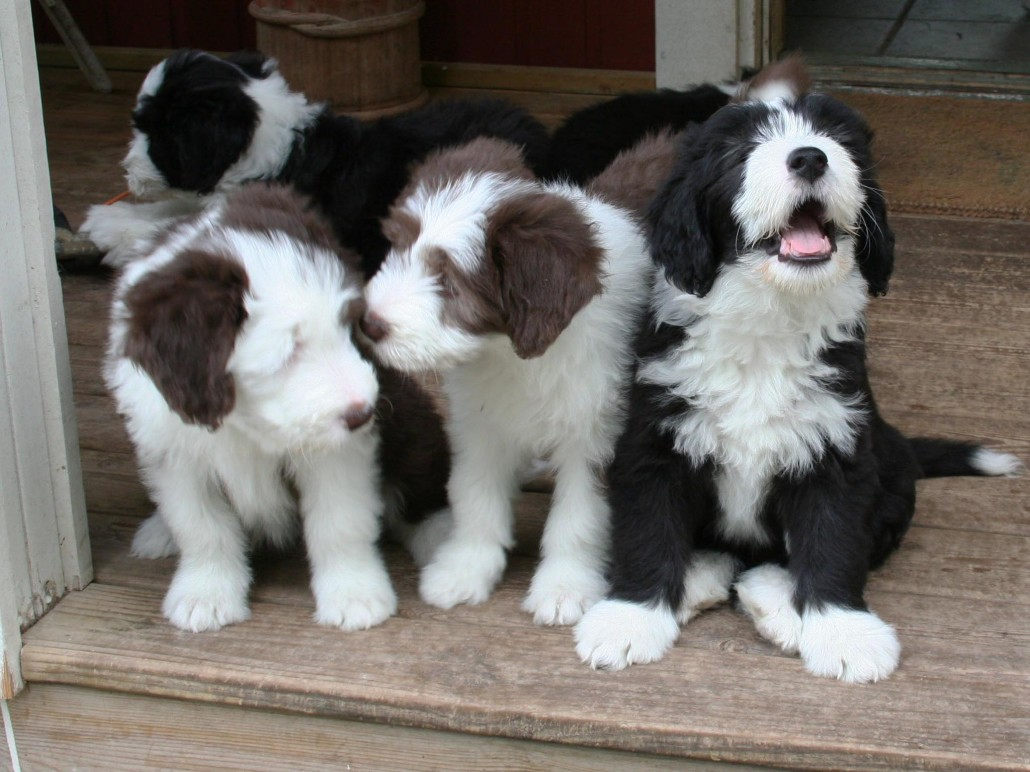 Bearded Collie Dogs Pictures