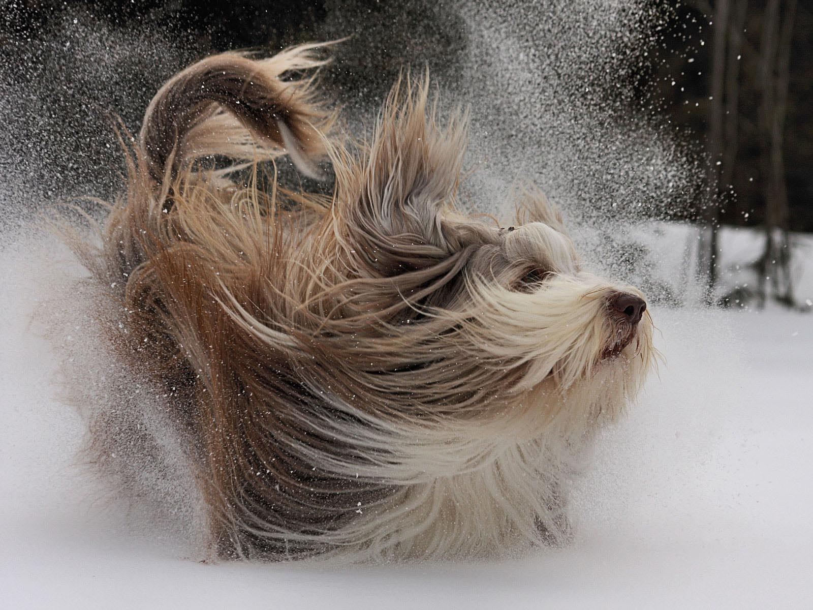 bearded collie breed guide learn about the bearded collie