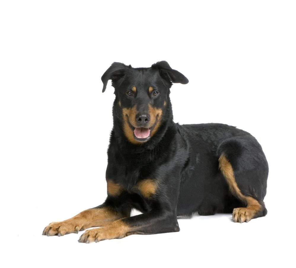 Beauceron Breed Guide - Learn about the Beauceron.
