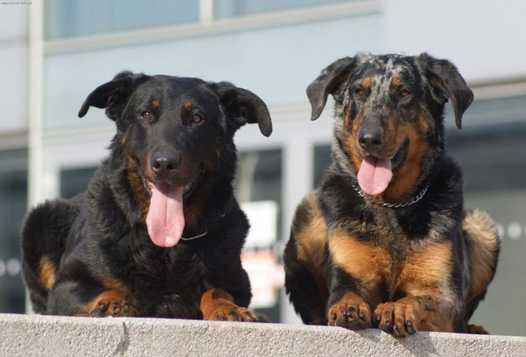 Beauceron Breed Guide Learn About The Beauceron