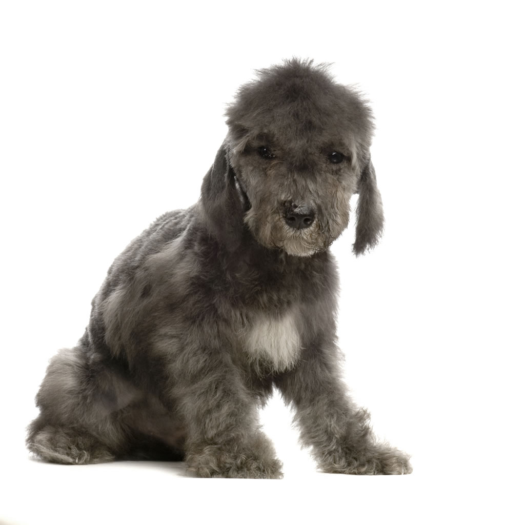 Bedlington Terrier Breed Guide Learn About The
