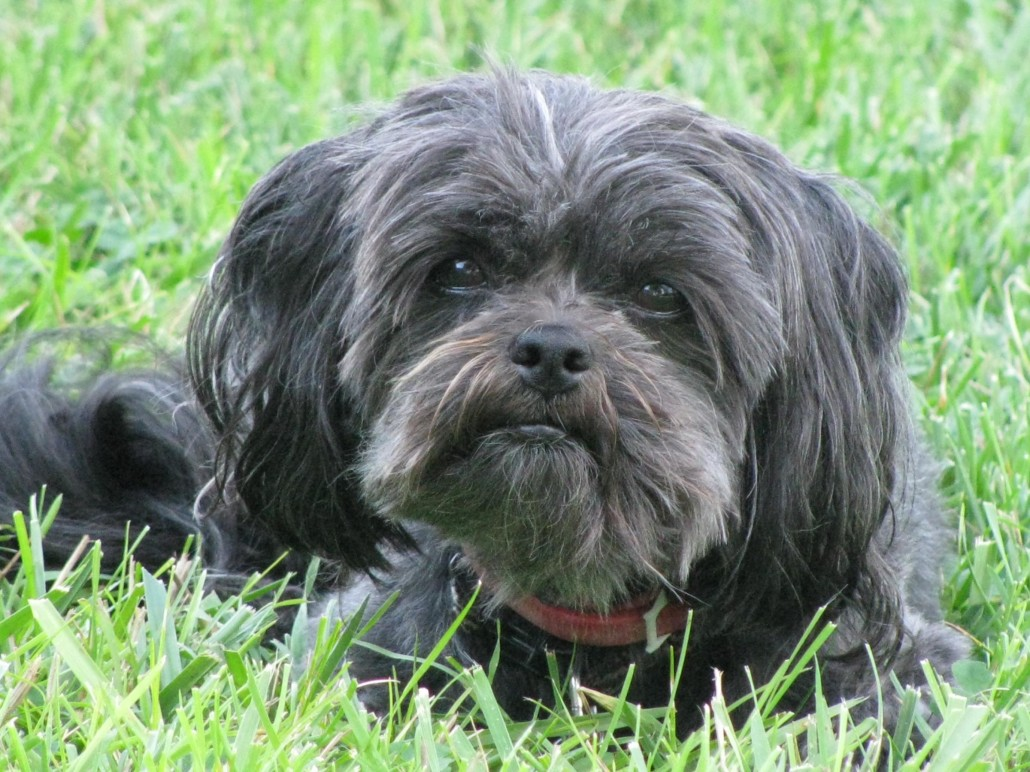 Affenpinscher Breed Guide  Learn about the Affenpinscher.