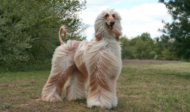 Afghan Hound Breed Guide - Learn about the Afghan Hound.