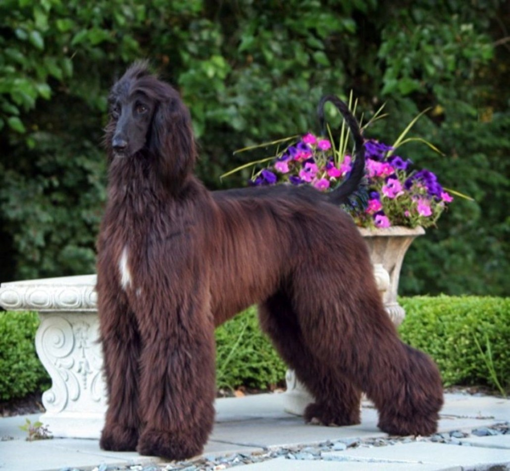 Learn About The Afghan Hound