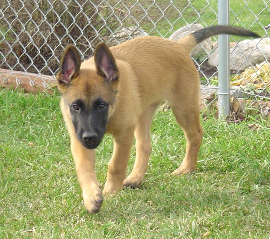 Belgian Shepherd Malinois Breed Guide Learn About The