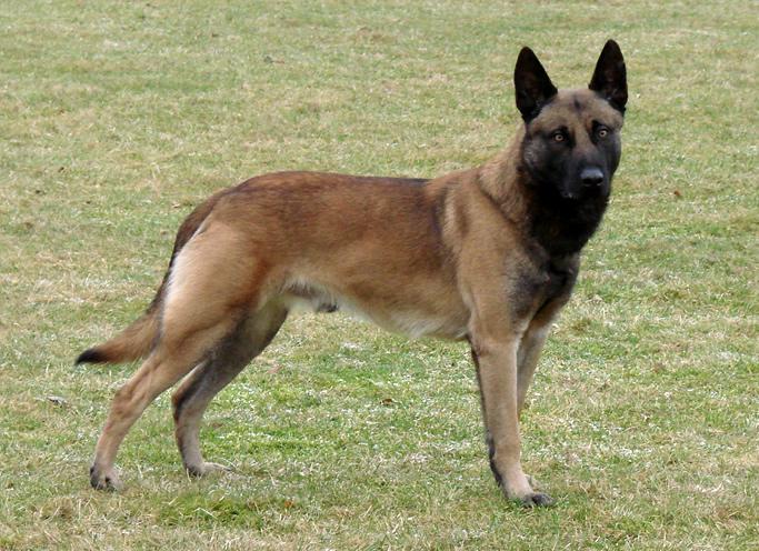 belgian shepherd malinois breed guide learn about the