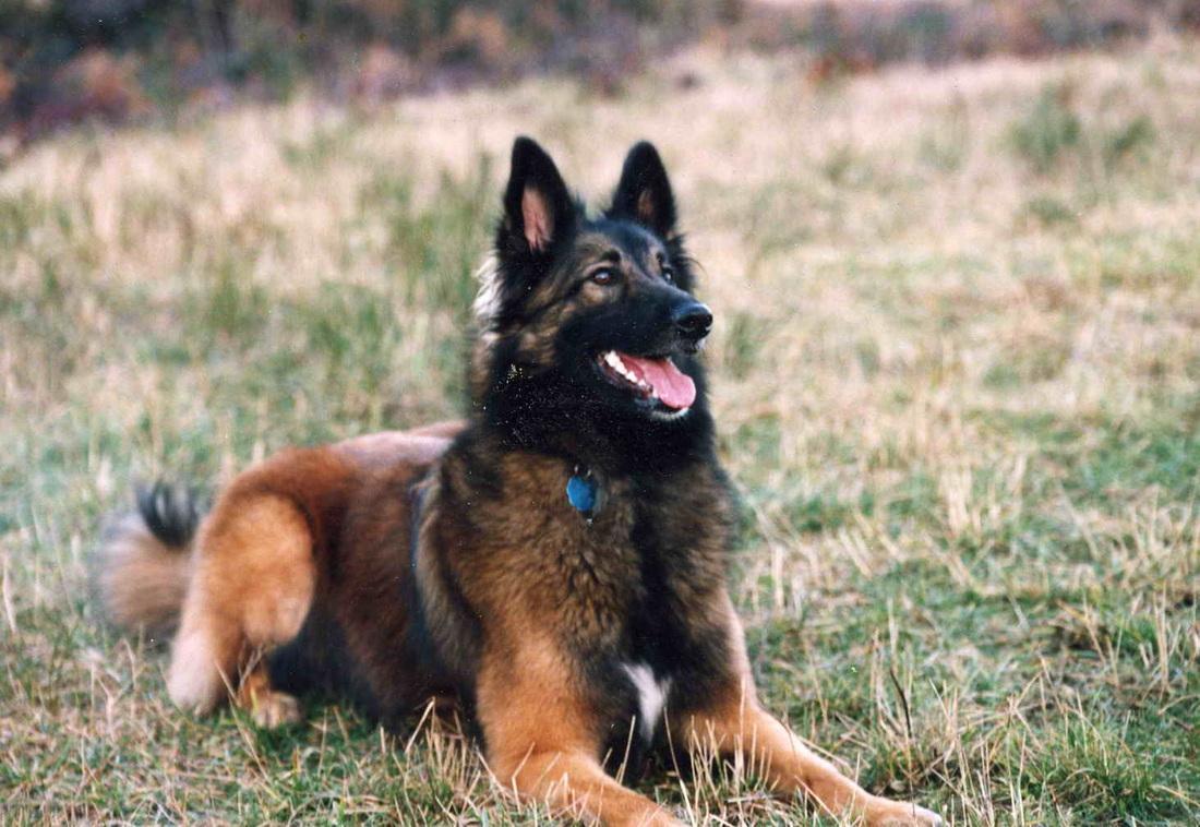 Belgian Shepherd Tervuren Breed Guide - Learn about the Belgian ...