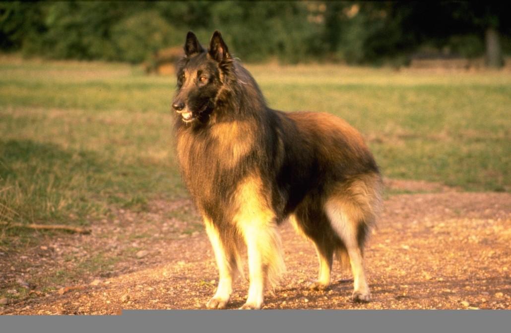 belgian shepherd tervuren breed guide